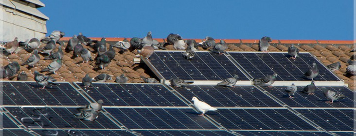 5 Things You Can do About Pigeons Under Your Solar Panels